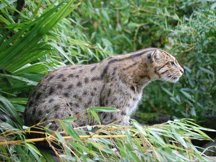 Fishing Cat Pessac zoo