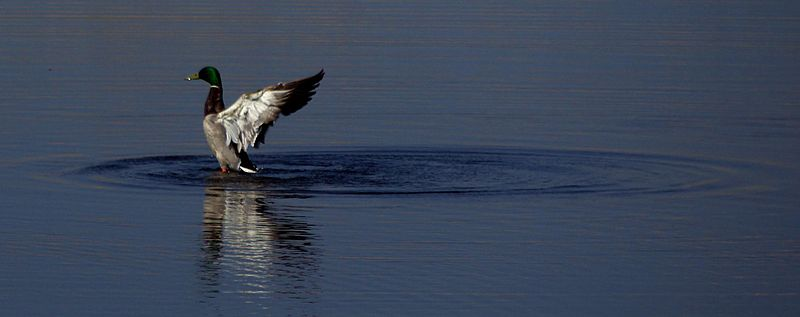 File:Flapping mallard rising from water.jpg