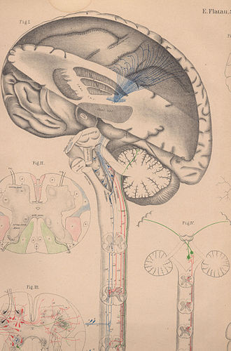 Edward Flatau - Template from the English edition of the brain atlas.