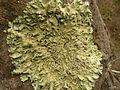 Flavoparmelia caperata - Flickr - pellaea (5).jpg