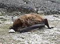 Fledermaus (Schmallenberg 2)-ml1.jpg