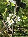 Fleur de poirier en gros plan le 10 avril 2020.jpg