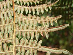 240px flickr   jo%c3%a3o de deus medeiros   pteridium aquilinum var. arachnoideum