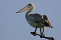 Flickr - Rainbirder - Pink-backed Pelican (Pelecanus rufescens).jpg