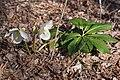 Flitsch Helleborus niger an der oesterr-ungar Frontlinie 10032015 0639.jpg
