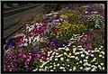 Flowers beside the Toowoomba Range rail tracks-1 (9960442886).jpg