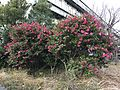 Flowers of Camellia japonica 20161229.jpg
