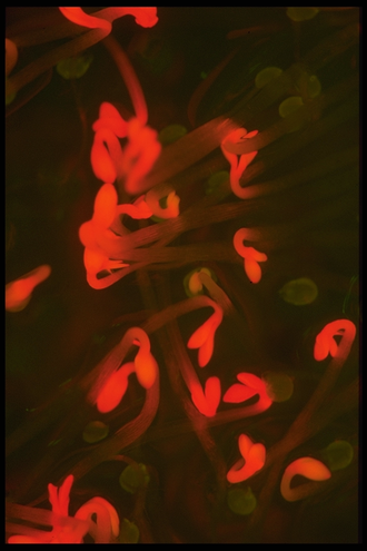 Protochlorophyllide - The Arabidopsis mutant (FLU), unable to control biosynthesis of protochlorophyllide, glows red in the blue light.