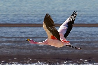 Flying Free flamingo in the Laguna Hedionda.jpg