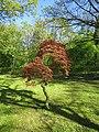 Forstbotanisk Have Japansk løn.jpg
