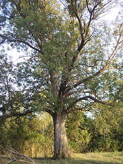 <i>Fraxinus quadrangulata</i> Species of ash
