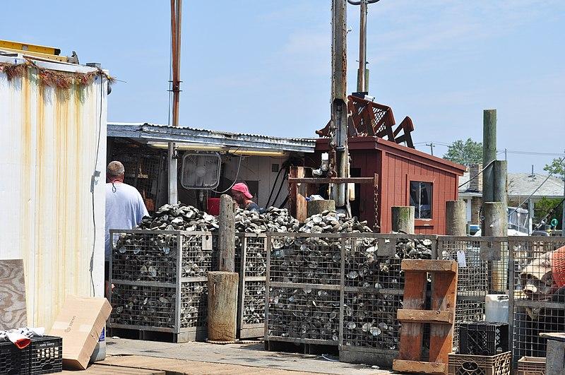 File:Freeport, NY - shucking clams 01 (9339711502).jpg