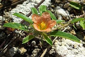 Sida (plant) - Sida ciliaris