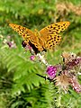 Fritillary on a thistle, Parkhill Inclosure, New Forest - geograph.org.uk - 208125.jpg