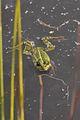 Frog in the Gildehauser Venn.jpg