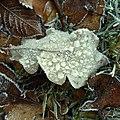 Frosted leaf - Flickr - Stiller Beobachter.jpg