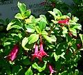 Fuchsia microphylla ssp aprica 1.jpg