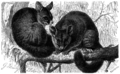 Fuchskusus (Phalangista vulpina).png