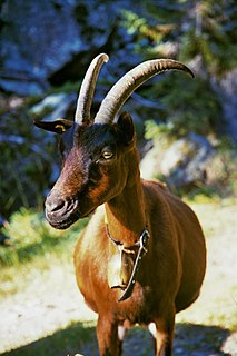 Chamois Coloured goat goat breed
