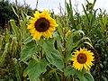 GOC Ashwell to Guilden Morden 055 Sunflower (Helianthus) (25856010670).jpg