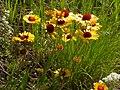 Gaillardia aristata (3750286063).jpg