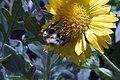 Gaillardia x grandiflora Golden Goblin 5zz.jpg