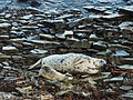 Gairsay Grey Seal and pup.jpg
