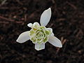 Galanthus nivalis (sneeuwklok)2.JPG