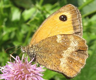 Pyronia cecilia - Gatekeeper showing small white spots on the underwing