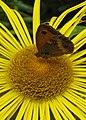 Gatekeeper butterfly (Pyronia tithonus) - geograph.org.uk - 1407417.jpg