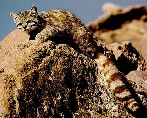 Andean mountain cat - Andean mountain cat