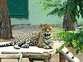 Gaziantep 2012 - Hayvanat bahçesinde leopar - panoramio.jpg