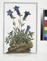 Gentiana alpina pumila brevi folio, sed flore coeruleo elegantissimo. (Southern gentian) (NYPL b14444147-1124942).tiff