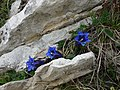 Gentiana clusii Perr. & Song. subsp. clusii.jpg