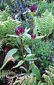 Gentiana purpurea gaustad IMG 0424.JPG