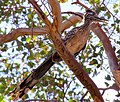 Geococcyx californianus -California, USA -perching in tree-8.jpg
