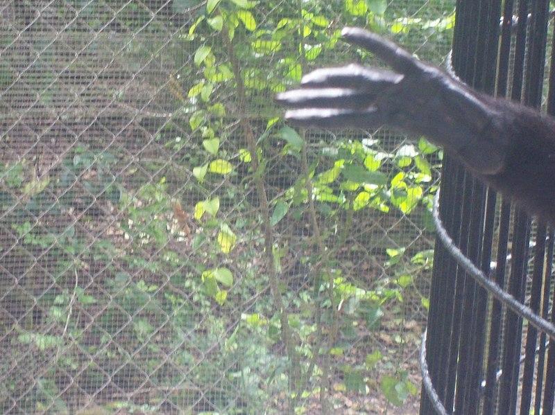 File:Geoffroy's Spider Monkey Hand 2.jpg
