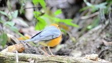 ଫାଇଲ:Geokichla citrina, orange-headed thrush - Khao Yai National Park.webm