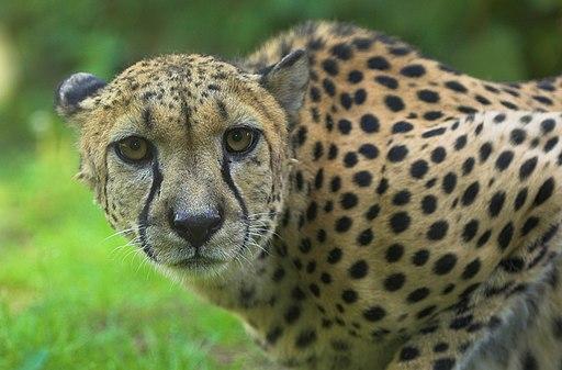 Gepard zoo rostock