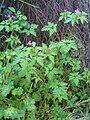 Geranium robertianum Habitus 2009-3-28 SierraMadrona.jpg