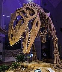 Zmontowany szkielet w Muzeum Historii Naturalnej w Helsinkach