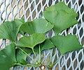 Ginkgo biloba leaves (Celina, Ohio, USA) 2 (49047014343).jpg
