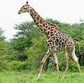 Giraffe (Giraffa camelopardalis) male ... (51134028610).jpg