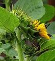 Girasol (Helianthus annuus) - Flickr - Alejandro Bayer (24).jpg
