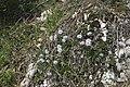 Globularia cordifolia - img 29504.jpg