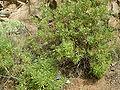 Globularia salicina (Puntallana) 06 ies.jpg