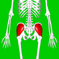 Gluteus medius muscle08.png
