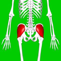 musculos flexores de cadera origen e insercion