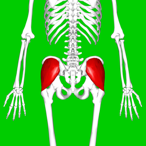 Gluteus medius muscle - Position of gluteus medius muscle (shown in red). Posterior view.