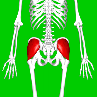 Gluteus medius one of the three gluteal muscles
